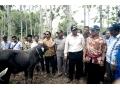 TAHUN 2018, DOMPU TARGETKAN 4.000 INDUK SAPI BUNTING